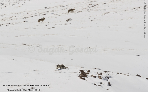 Snow Leopard and Tibetan Wolves